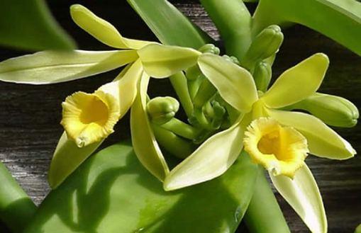 vanilla-planifolia